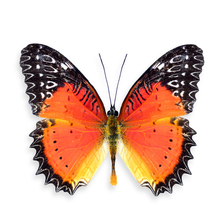 biblis: Red Lacewing Butterfly Upper Wings Profile in Natural Color, Colourful Butterfly