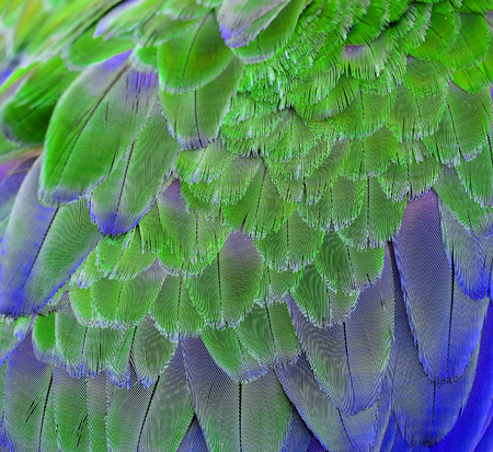 Texture of Green and Blue Macaw Parrot Bird's Feathers photo