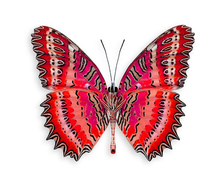 biblis: The best of Red Butterfly in fancy color isolated on white background