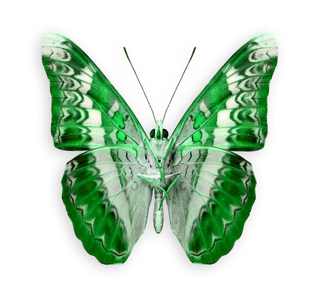 mariposa verde: El Gran Mariposa verde aislado en el fondo blanco