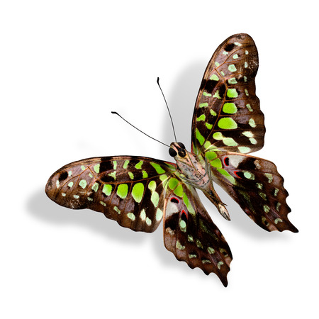 Beautiful Tailed Jay Butterfly (Graphium Agamemnon) lower wing profile in natural color isolated on white background photo