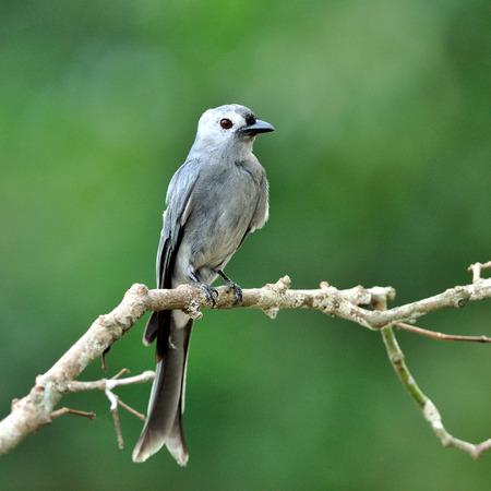 ashy: Ashy Drongo (Dicrurus leucphaeus) nice grey bird perching on the beautiful branch Stock Photo