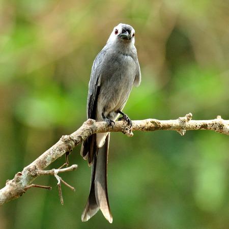 ashy: Ashy Drongo (Dicrurus leucphaeus) nice grey bird perching on the pole