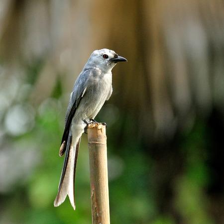 ashy: Ashy Drongo (Dicrurus leucphaeus) nice grey bird