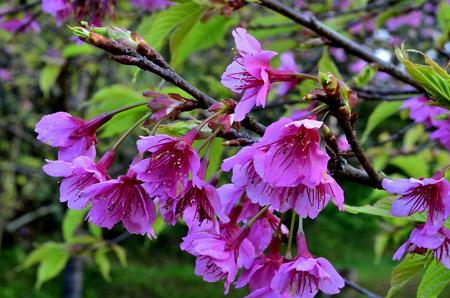 flor de sakura: Hermosa flor de los cerezos en flor o Sakura Foto de archivo