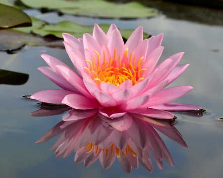 Beautiful blooming of lotus flower or water lily with its relfection shadown in blue water photo