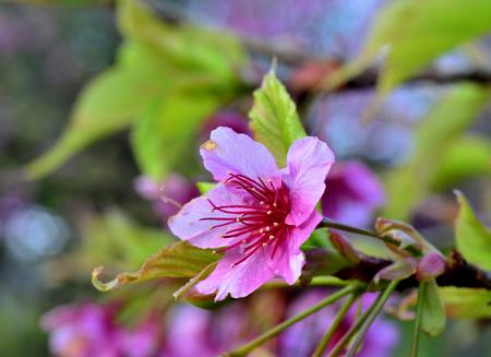 fleur de cerisier: Belle rose cerise fra�che fleur de fleur dans le jardin avec belle