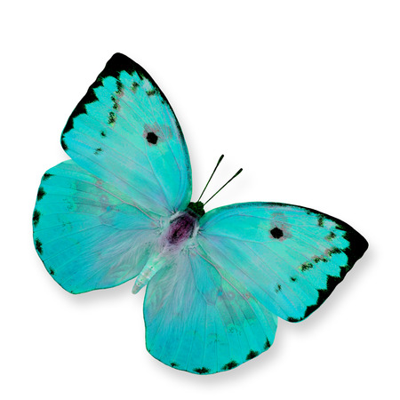 emigrant: Beautiful Light Blue Butterfly (Lemon Emigrant) isolated on white  Stock Photo