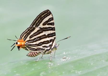 silverline: Beautiful Long-banded Silverline butterfly in nature