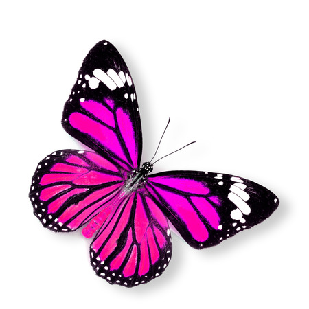 pink butterfly: Beautiful Pink Butterfly (Common Tiger) on white
