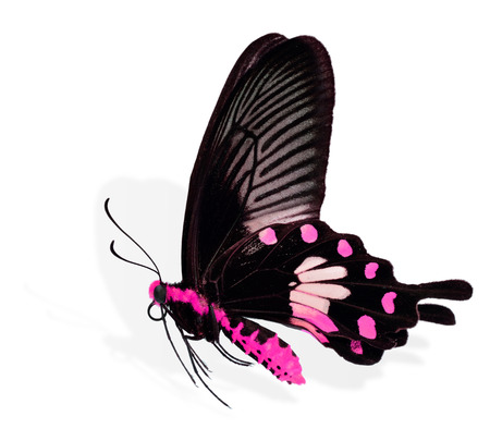 pink butterfly: beautiful pink butterfly flying isolated on white