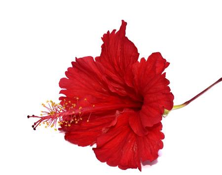 最高中国赤いハイビスカスの花が白い背景で隔離の詳細