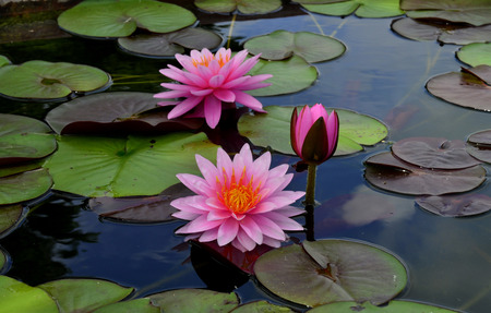 lilia: Blomming and bud Pink Lotus Flowers or water lily