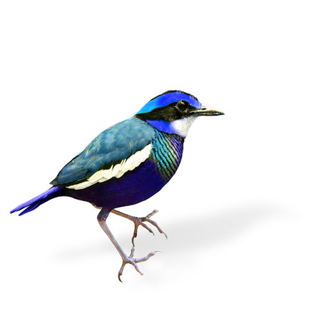 transparency color: Blue Fancy Bird in color transparency (Banded Pitta)