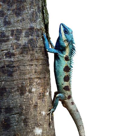 lacerta viridis: Blue Lizard perching on the tree (lacerta viridis), beautiful lizard