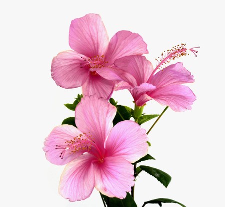 Bunch of Pink Hibiscus Flower bouquet Stock Photo - 26201104