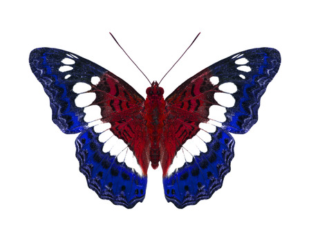 Common Commander Butterfly in American Flag Colors  photo