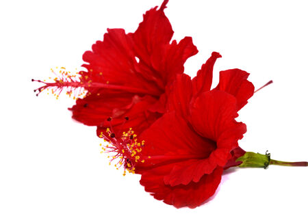 Double Chinese Red Hibiscus Flowers isolated on white background photo