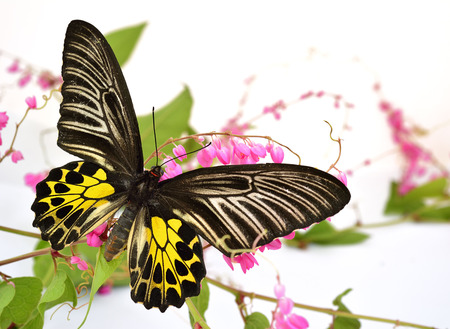 Golden birdwing butterfly perching on pink coral vine or mexican creeper or chain of love flower