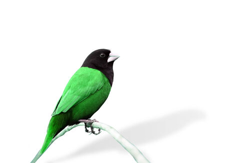 Green bird in fancy color (Black-headed Munia) photo