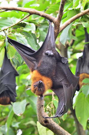 Hanging flying fox, a big bat hanging on the tree branch photo