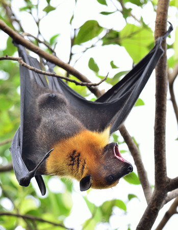 Hanging flying fox, a big bat shouting while hanging on the branch photo
