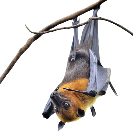 Hanging Flying Fox, big bat with open eyes in Halloween night isolated on white background Standard-Bild