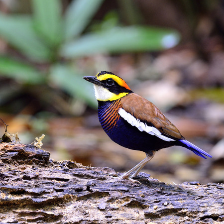 Male of Bannded Pitta bird standing on the ground with lovely actions photo