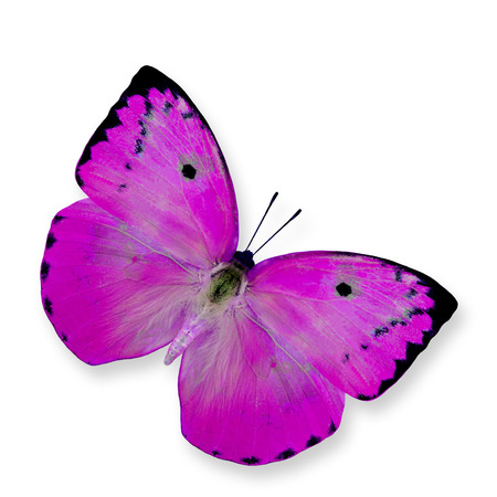 emigrant: Pink Butterfly (Lemon Emigrant) isolated on white background