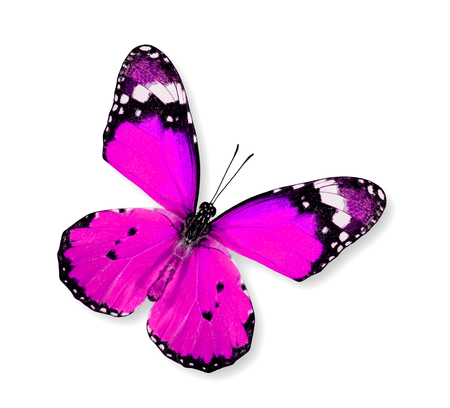 pink butterfly: Pink Butterfly flying (Plain Tiger) isolated on white background