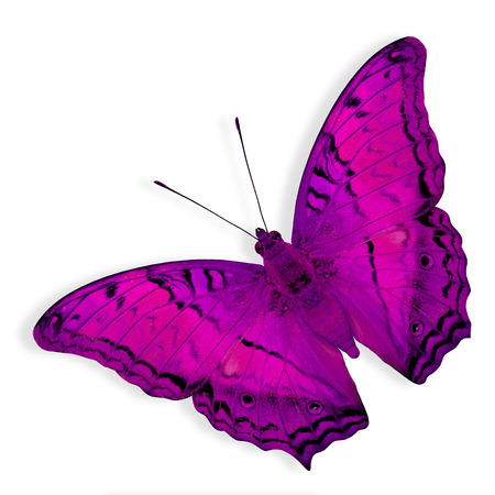 pink cruiser: Pink Butterfly flying on white background (Common Cruiser) Stock Photo