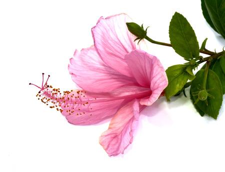 ピンクのハイビスカスの花は白い背景の上に横たわる