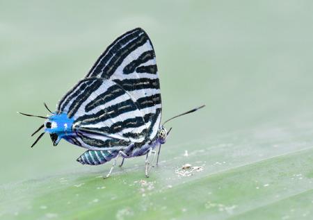 silverline: Beautiful cuty blue butterfly in nature Stock Photo