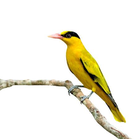 美しい黄色の鳥、コウライウグイス (Oriolus 成虫) 白い背景に分離