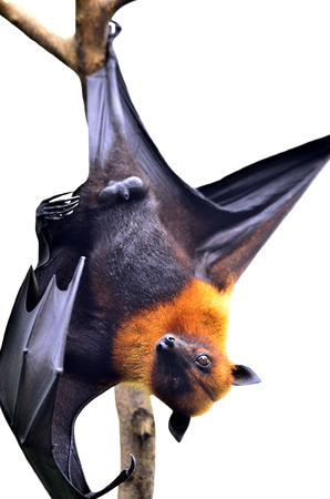 Big Bat, Scary Hanging Flying Fox in Halloween season isolated on white background photo