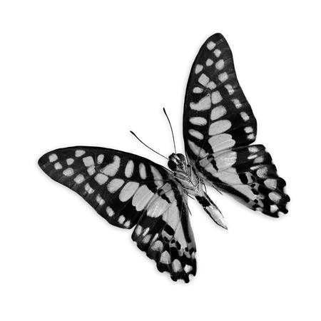 Black and white butterfly isolated on white background photo