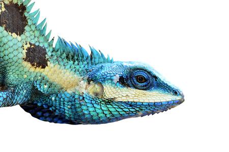 Blue Lizard Head closeup isolated on white background (lacerta viridis), colorful lizard Standard-Bild