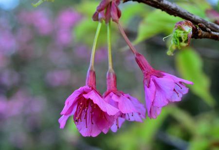 fleur de cerisier: Cherry flower ou Sakura sont fleur dans le jardin