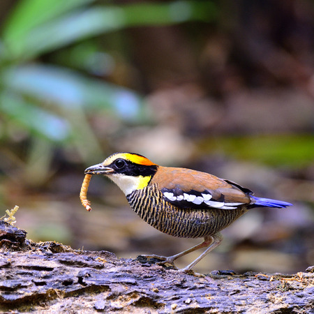 Female of Banded Pitta collecting worm for its chicks photo