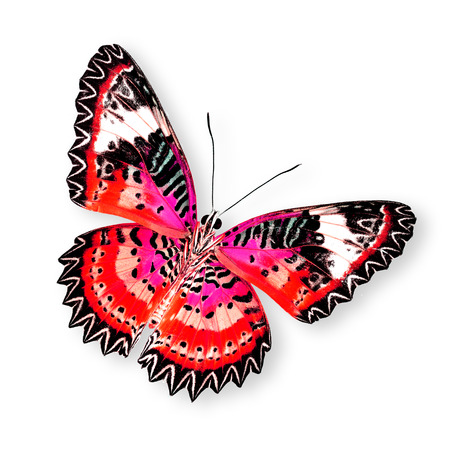 lacewing: Great Red Butterfly (leopard lacewing) isolated on white background Stock Photo