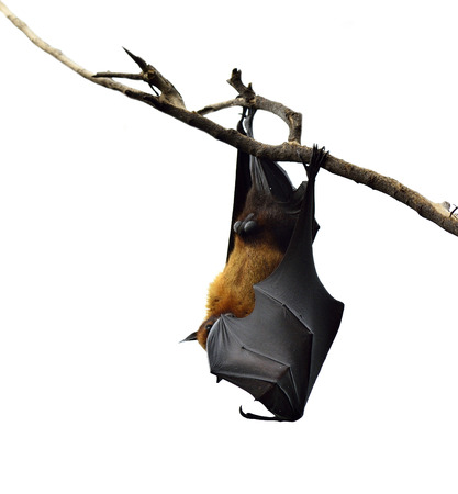 Hanging flying fox or big bat closing his eyes isolated on white background photo