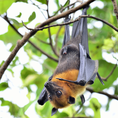 Hanging Flying Fox, big bat with open eyes in Halloween night photo