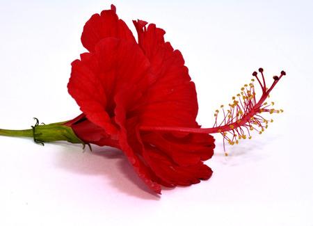 白い背景の上に横たわる素敵な朱赤ハイビスカスの花 写真素材
