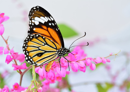 Beautiful Common Tiger Butterfly perching on Pink Coral Vine or chain of love flowers photo