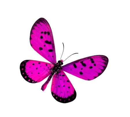 pink butterfly: Beautiful Pink Butterfly in fancy color (Tawny Coster butterfly) isolated on white background