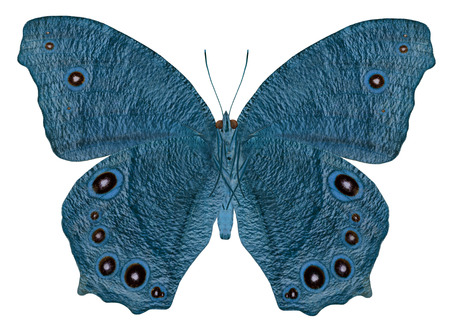 Blue butterfly in fancy color (Common Evening Brown Butterfly) photo