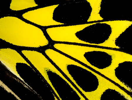 Closeup of Common Birdwing Butterfly wings with nice texture and pattern photo