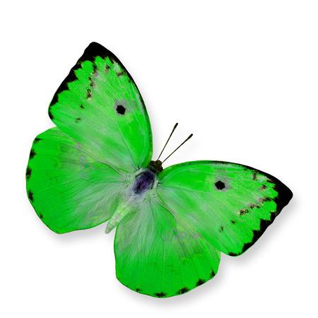 mariposa verde: Gran mariposa verde (lim�n Emigrante) aislado en fondo blanco