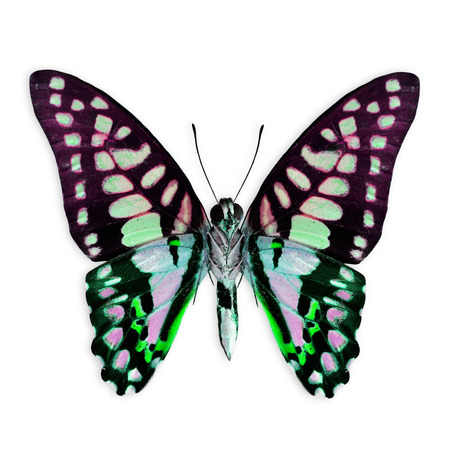 Green and purple butterfly in fancy color isolated on white background photo