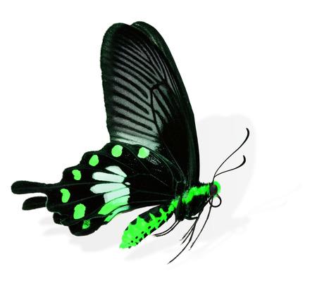 mariposa verde: Mariposa verde vuelo aislado en el fondo blanco